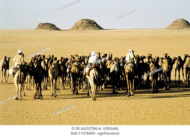Camel caravan and camel drivers along the Wadi Halfa-Daraw track between Egypt and Sudan, Eastern Sahara, Egypt