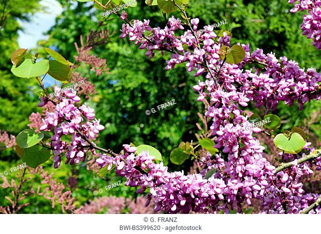 judas tree (Cercis siliquastrum), blooming against, Germany