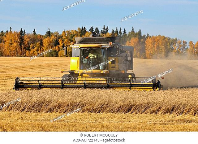 A combine harvester processing raw wheat growing in a farm field