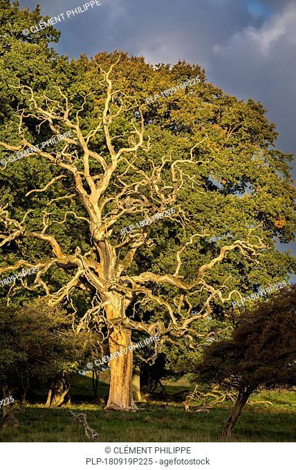 Dead common oak / pedunculate oak / European oak / English oak tree (Quercus robur) bare branches in sunlight at sunrise on a rainy day