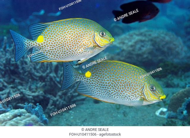 Pair of spotted or golden rabbit fish, Siganus guttatus, swimming in mid-water, Dumaguete, Negros, Philippines