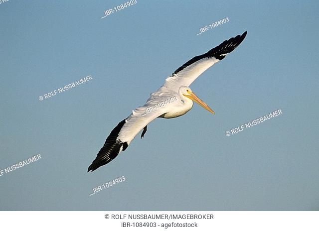 American White Pelican (Pelecanus erythrorhynchos), adult in flight, Rockport, Texas, USA