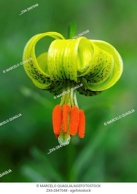 Martagon Lily (Lilium martagon). Collados del Ason Natural Park. Soba municipality. Cantabria autonomous community. Spain