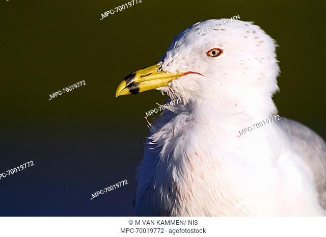 Ring-billed Gull (Larus delawarensis), Marco Island, Florida