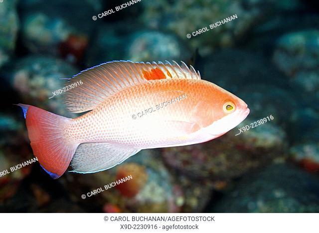 Male Stocky Anthias, Pseudanthias hypselosoma. Tulamben, Bali, Indonesia. Bali Sea, Indian Ocean