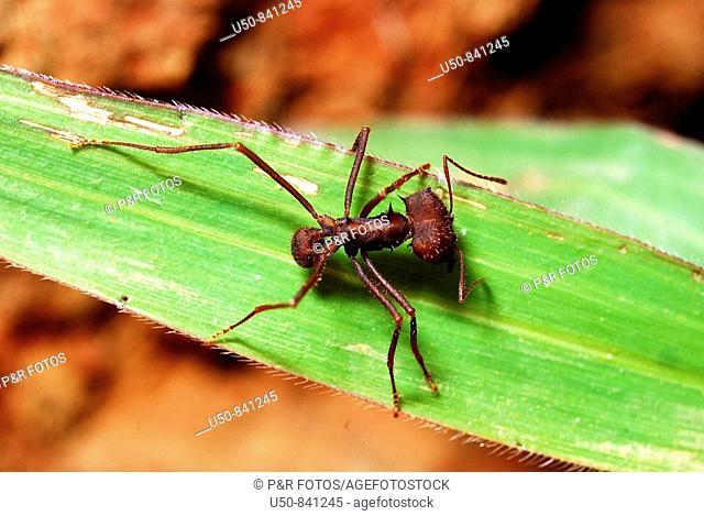 Leafcutter ant worker, saúva, Atta sexdens, Rio Branco, Acre, Brazil