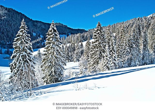 Snow covered  spruce trees, Valepp valley near Spitzingess lake. Spitzing, Upper Bavaria, Germany