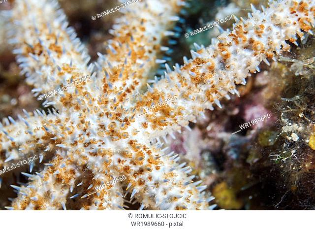 Spiny Starfish, close-up, Adriatic Sea