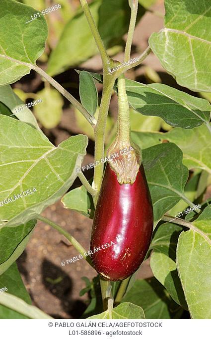 Aubergine (Solanum melangena)