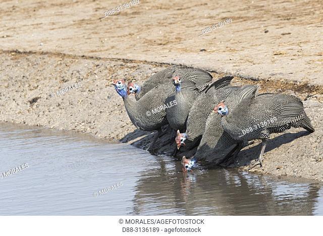 Africa, Southern Africa, Bostwana, Moremi National Park, Helmeted guineafowl (Numida meleagris), group drinking