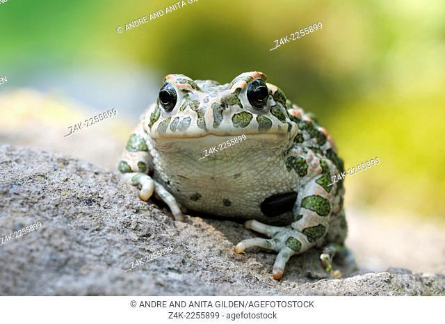 European green toad ( Bufo viridis) close-up sitting on a rock