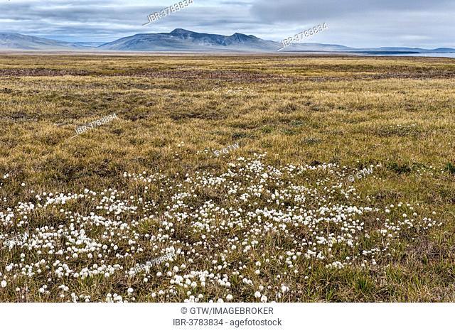 Arctic Cotton grass (Eriophorum scheuchzeri ssp. arcticum) on a plain, Wrangel Island, UNESCO World Heritage site, Chukotka Autonomous Okrug, Russia