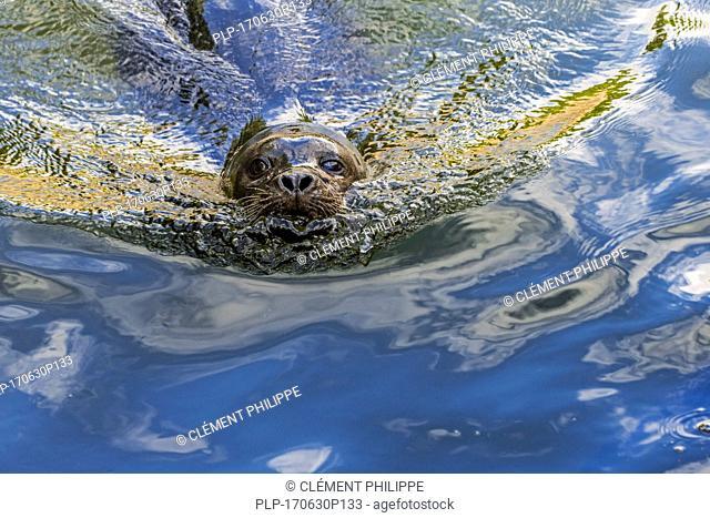 Common seal / harbor seal / harbour seal (Phoca vitulina) swimming, close up portrait