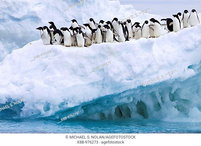 Adelie penguin Pygoscelis adeliae near the Antarctic Peninsula, Antarctica  The Adélie Penguin is a type of penguin common along the entire Antarctic coast and...