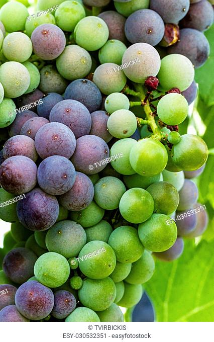 Close up of bunch of red wine grapes ripening on grapevine