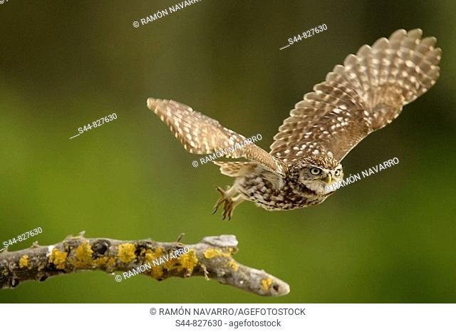 Little Owl (Athene noctua), Doñana National Park. Andalucia, Spain
