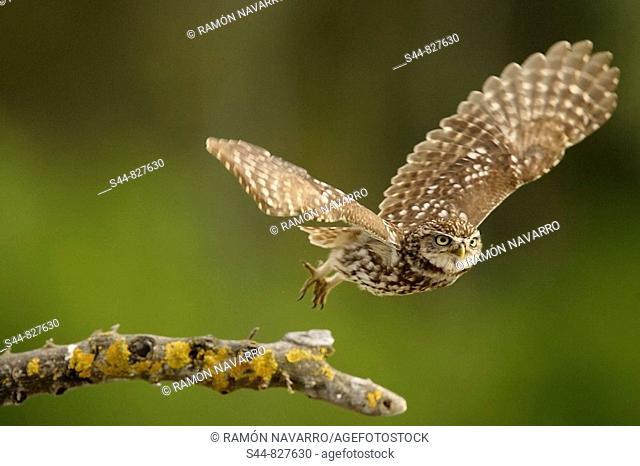 Little Owl (Athene noctua), Doñana National Park. Andalucia, Spain