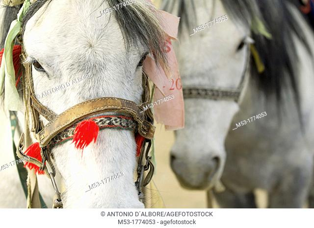 Horses with harness in a nomad tibetan campsite  Ngari prefecture  Tibet  china  Asia