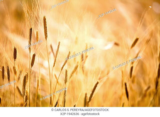 Production of wheat in Provence, France