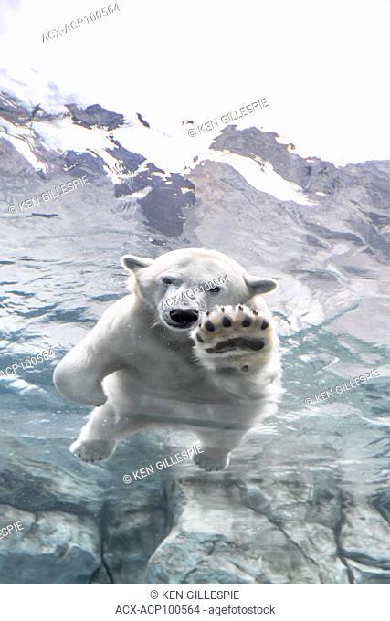 Polar Bear, Ursus maritimus, swimming underwater at Journey to Churchill, Assiniboine Park Zoo, Winnipeg, Manitoba, Canada