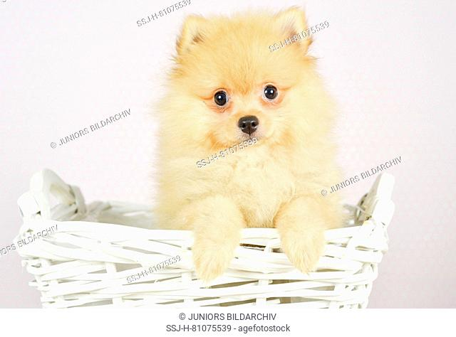 German Spitz Klein. Puppy (she-dog, 4 month old) in a white basket. Studio picture. Germany
