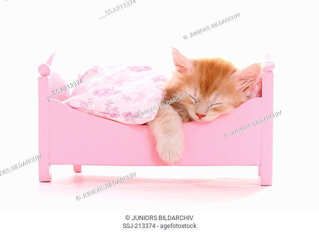 American Longhair, Maine Coon. Kitten (6 weeks old) sleeping in a pink dolls bed. Studio picture against a white background. Germany