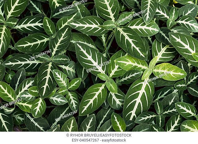 Green Leaves Of Dieffenbachia Oerstedii In Botanical Garden