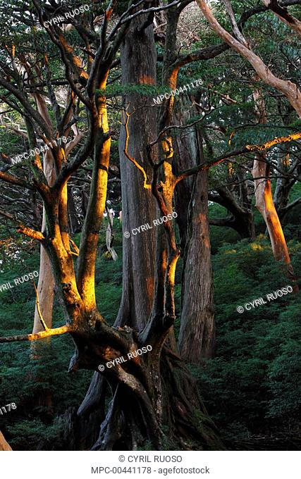 Stewartia (Stewartia sp) tree at sunrise, Yakushima Island, Japan