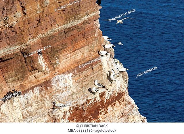 Gannets at the Lummenfelsen (rock), island Helgoland, Schleswig - Holstein, North Germany, Germany, Europe