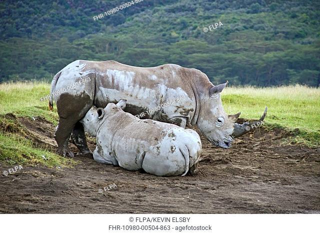 White Rhinoceros Ceratotherium simum adult female with calf, suckling, Lake Nakuru N P , Great Rift Valley, Kenya, October