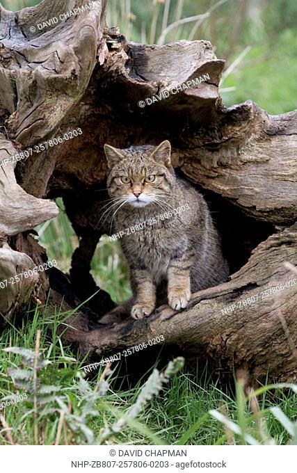 Wild Cat - Captive - UK