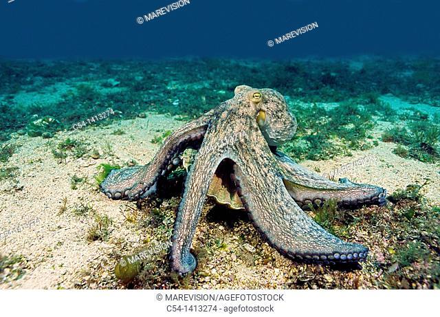 Common Octopus (Octopus vulgaris) devouring scallop (Pecten maximus), Eastern Atlantic, Galicia, Spain