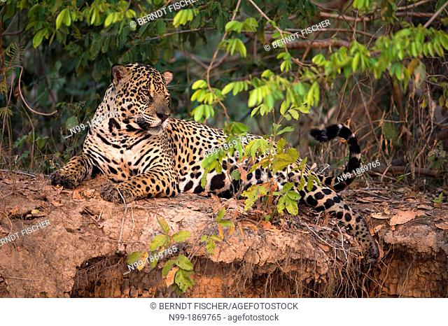 Jaguar resting in riverine forest, camouflage, well hidden, looking around, Pantanal, Brazil