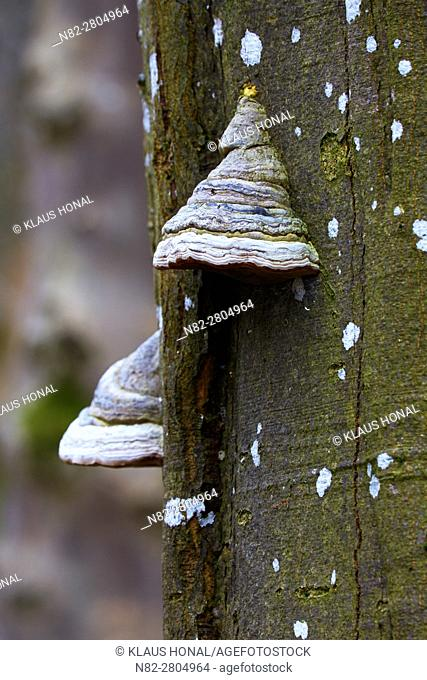The main host of Tinder Fungus, Hoof Fungus, Tinder Conk or Ice Man Fungus (Fomes fomentarius) is the Common Beech (Fagus sylvatica)