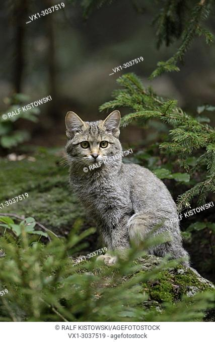 European Wild Cat (Felis silvestris silvestris) sitting on a rock in a coniferous forest
