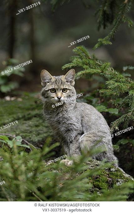 European Wild Cat (Felis silvestris silvestris) sitting on a rock in a coniferous forest