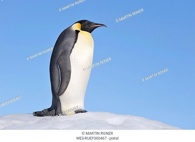Antarctica, Antarctic Peninsula, Emperor penguin standing on snow hill island