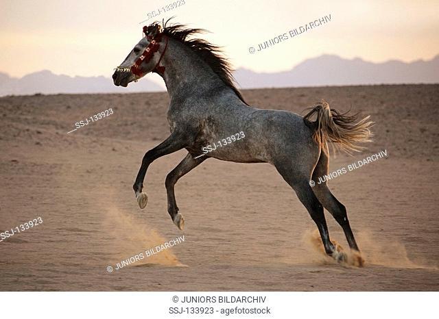 Arabian horse in sand