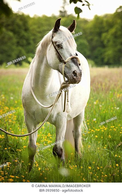 POA, Pony of the Americas, mare in foal, white horse wearing a Bosal hackamore, a bitless bridle used in Western style riding, on a flower meadow