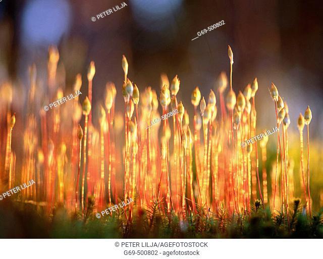 Haircap moss (Polytrichum) with sporophytes capsules, in evening light. Byske. Vasterbotten. Sweden