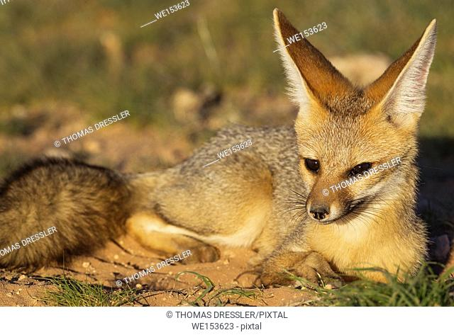 Cape Fox (Vulpes chama). Resting in the late evening at its burrow. Kalahari Desert, Kgalagadi Transfrontier Park, South Africa