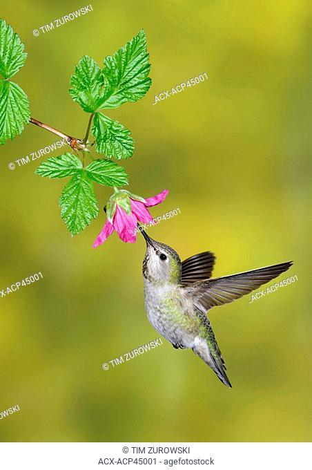 Anna's Hummingbird Calypte anna at flower, Victoria, British Columbia, Canada