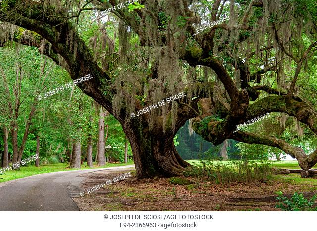 A large Live Oak tree at the Magnolia Plantation near Charleston South Carolina