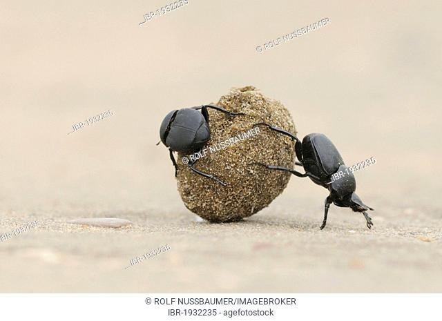 Dung Beetle (Scarabaeinae), adults rolling dung ball, Laredo, Webb County, South Texas, USA, America