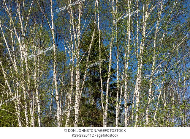 Spring foliage on birch trees, Wanup, Ontario, Canada