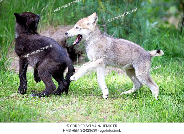 United States, Minnesota, Wolf or Gray Wolf or Grey Wolf (Canis lupus), youngs