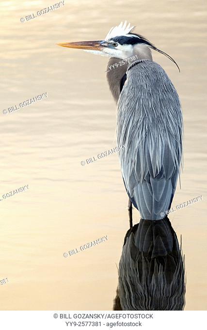 Great Blue Heron (Ardea herodias) - Green Cay Wetlands - Boynton Beach, Florida, USA