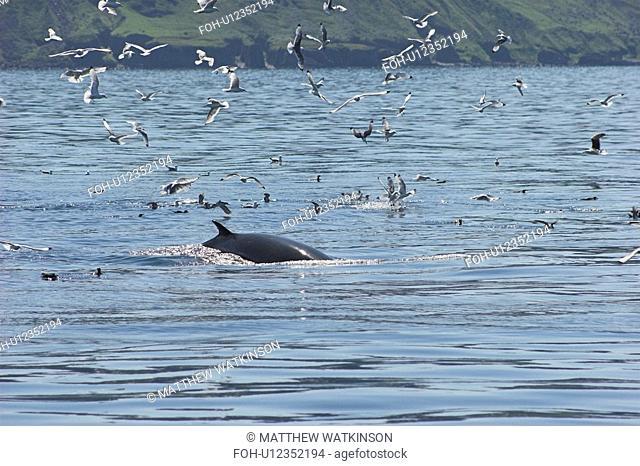 Minke Whale Balaenoptera acuturostrata feeding alongside assorted seabirds Isle of Mull, Western Scotland