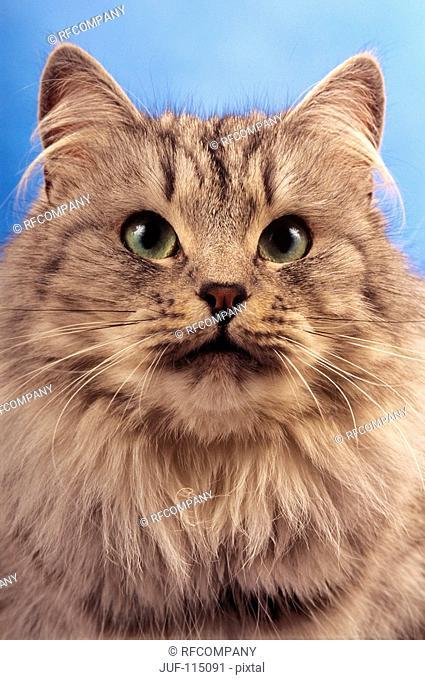 Siberian Forest cat - portrait