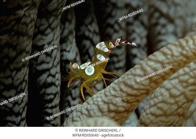 Amboin shrimp, Thor amboinensis, Indian Ocean Ari Atol, Maldives Island